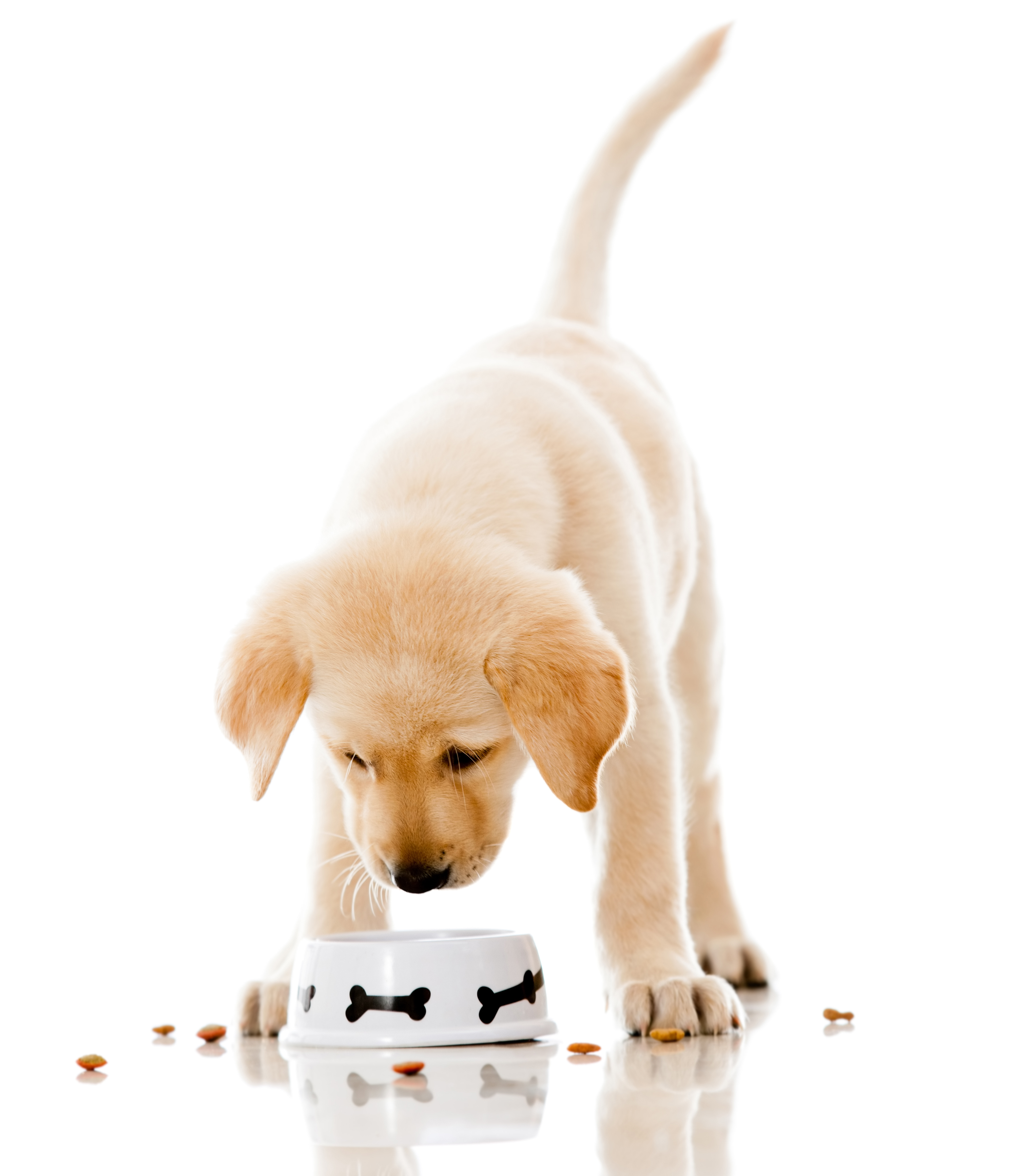 Cute puppy eating dog food - isolated over a white background-2