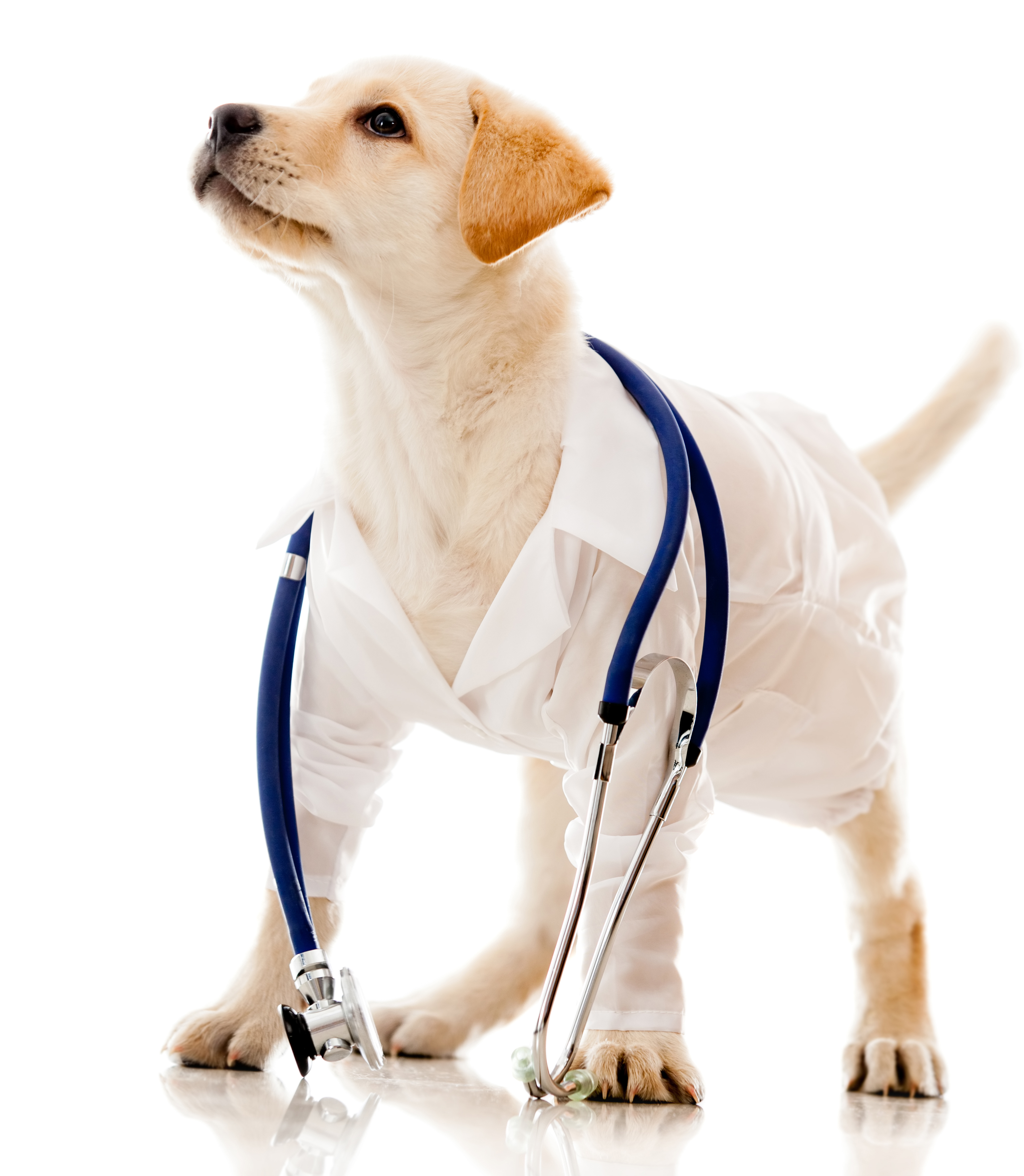 Puppy dog dressed as a vet - isolated over a white background-1