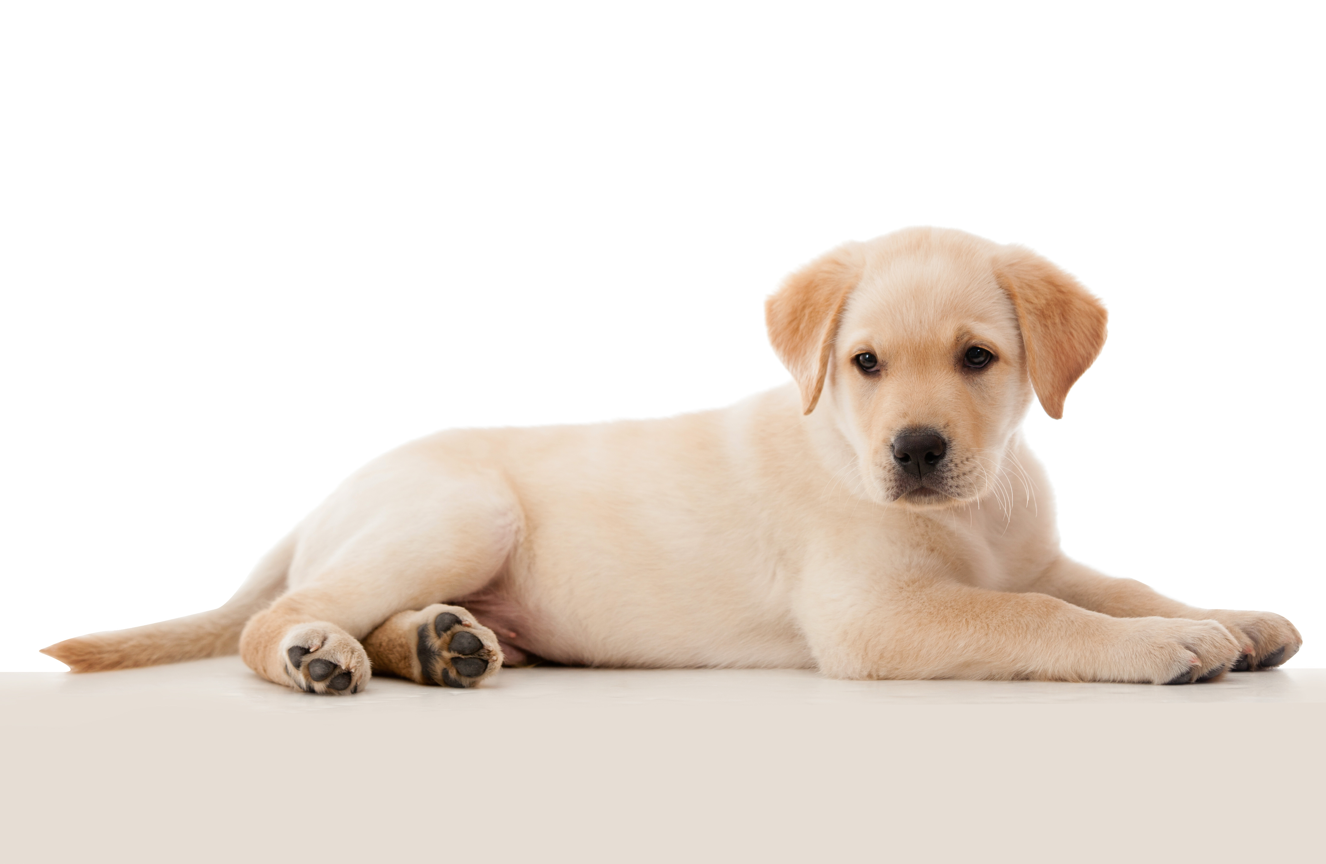 Beautiful puppy laying down - isolated over a white background-1