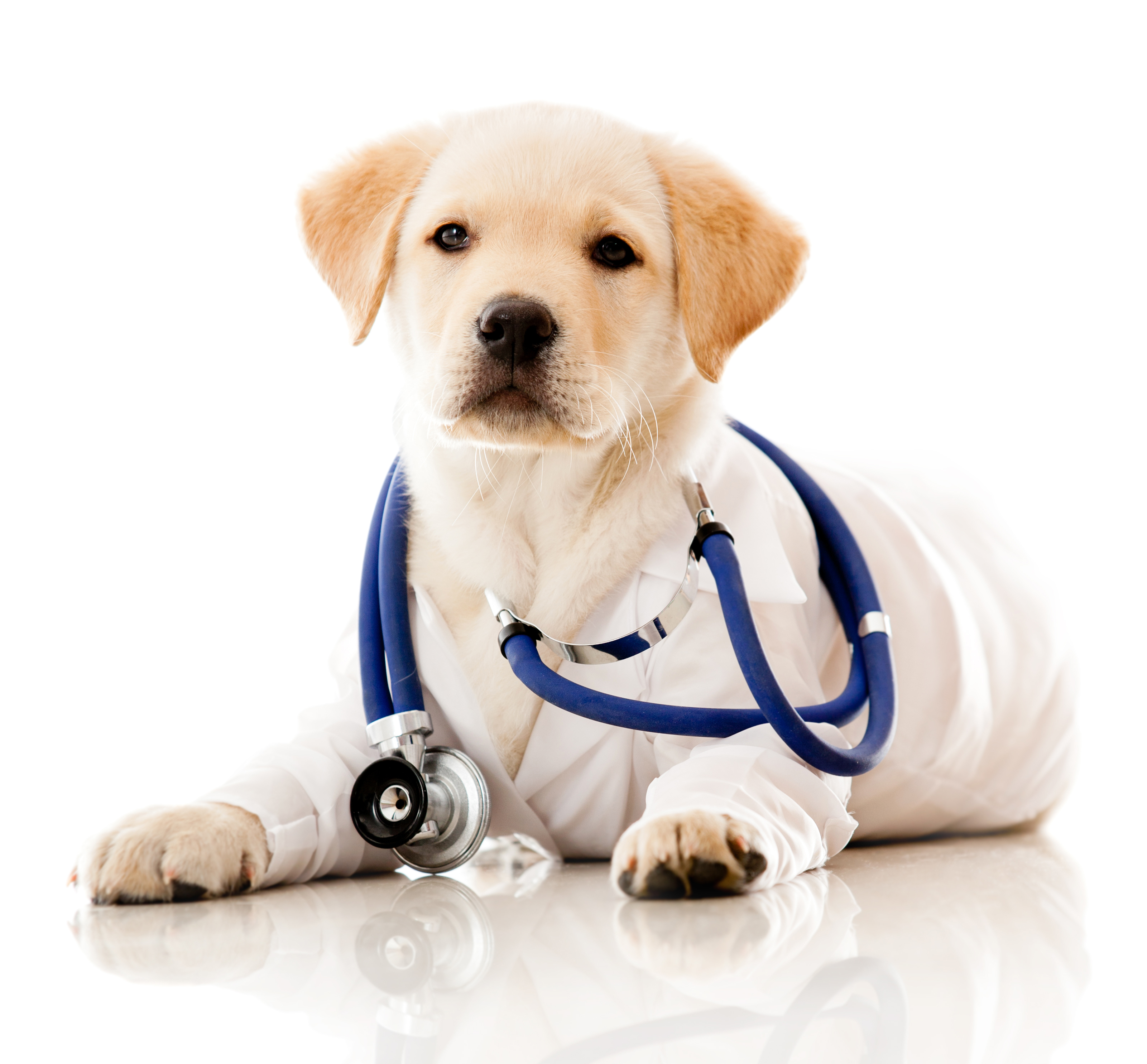 Little dog as a vet wearing robe and stethoscope - isolated over a whi